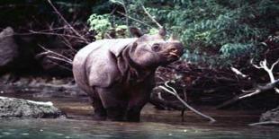 Taman Nasional Ujung Kulon, Hanya Tersisa 60 Ekor Badak
